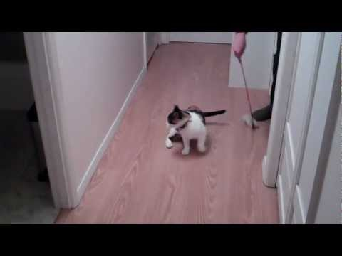Spinning the cat (Dizzy up the cat) Funny cat trick