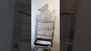 Как определить пол и возраст волнистого попугая