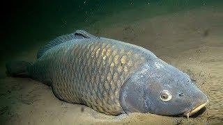 видео Подводная охота. Весенняя сказка. Сазан на нерестилище