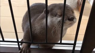カワウソさくら 非常に可愛いところ5連発  otter introducing 5 cute videos