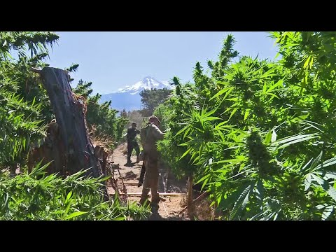 Hundreds of Illegal Marijuana Grow Operations Sprout in the Shadow of Mount Shasta