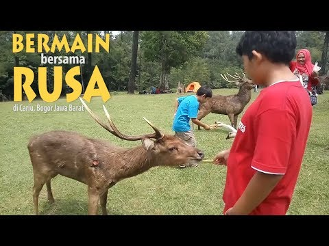 Penangkaran Rusa Cariu Bogor - Playing with Deers at Cariu