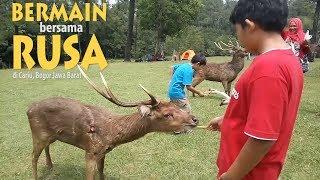 Penangkaran Rusa Cariu Bogor - Playing with Deers at Cariu