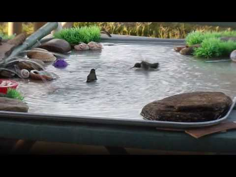 Hummingbirds Play in Homemade Bird Bath