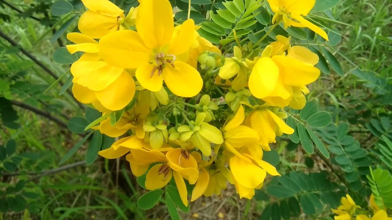 Tanaman Hias Bunga Kembang Kuning Ini Cocok Ditanam Di Depan Rumah Dan Sebagai Perindang Jalan Youtube