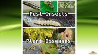 v41: Ampalaya Productionpart 3 Pest and Diseases Management. Conventional way!