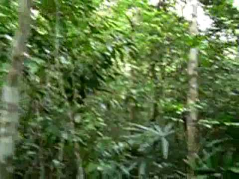 Sounds of the Howler Monkey