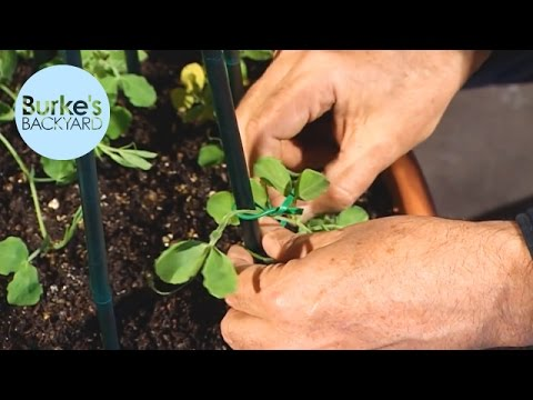 Burke's Backyard, Potting Sweet Peas