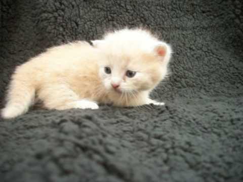 Dec 26 munchkin kitten for sale Texas