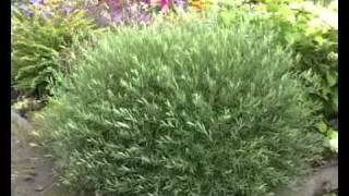 видео Декоративные кустарники и деревья для сада: фото, названия, виды