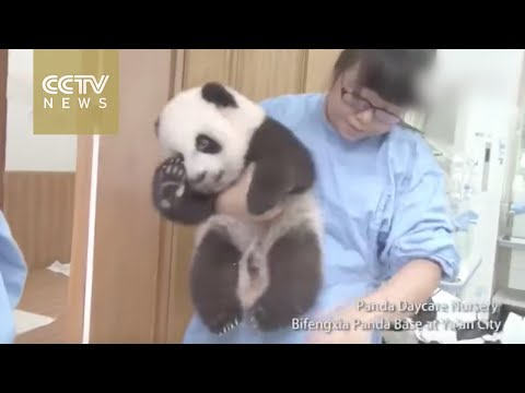 Footage: Panda nanny's happy life tending to baby bears