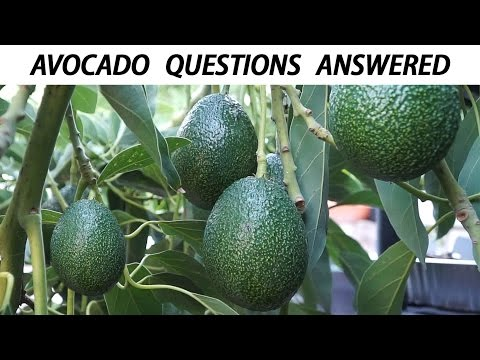 Your Avocado Growing Questions Answered