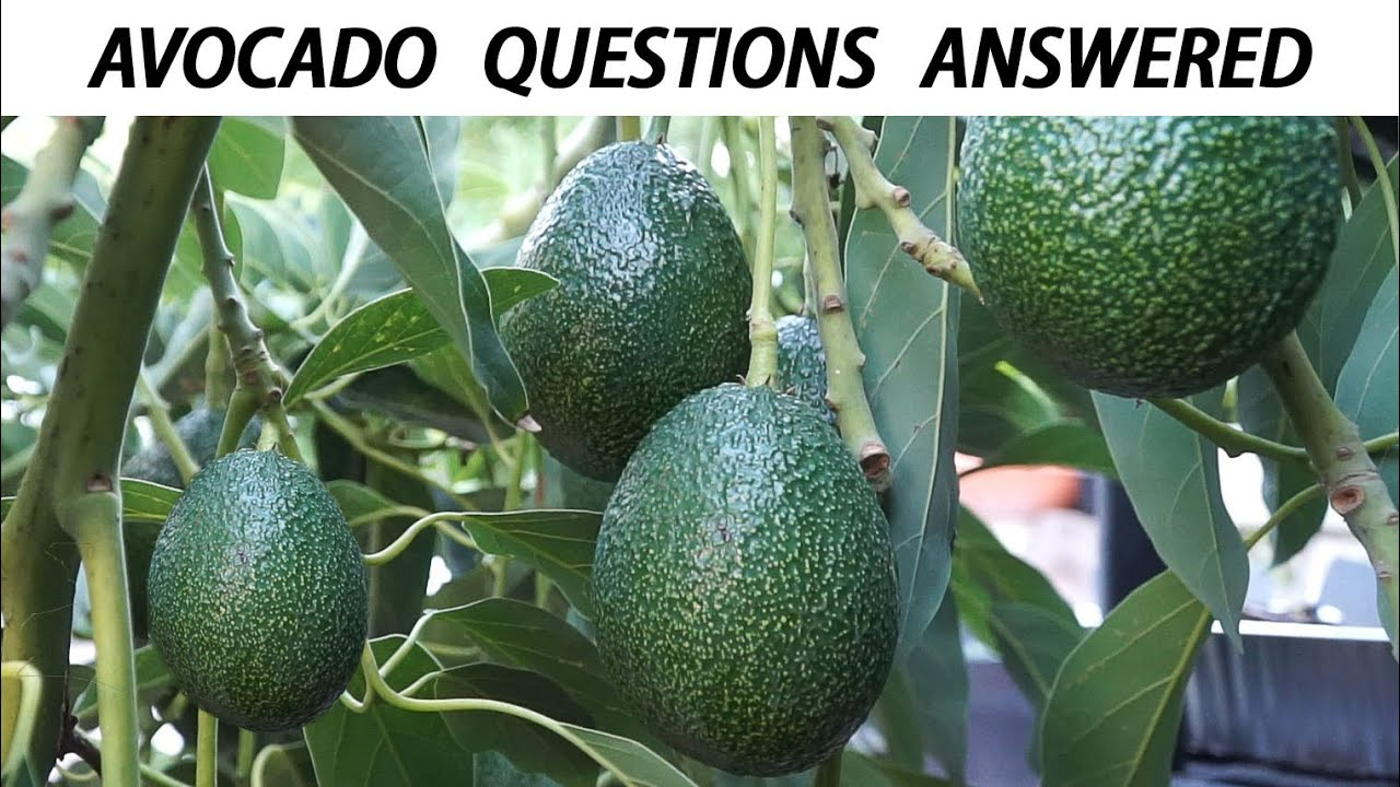 Pictures Of Avocados Growing