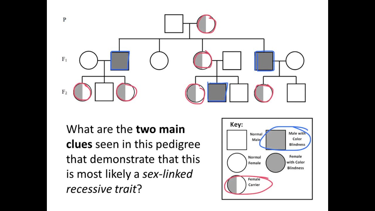 Sex Linked Traits And Punnett Square Review 4 Youtube Diagram