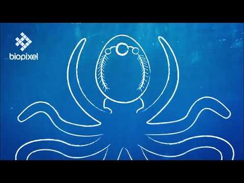 Oceanpedia   Critter finder   Mollusc   Cephalopod