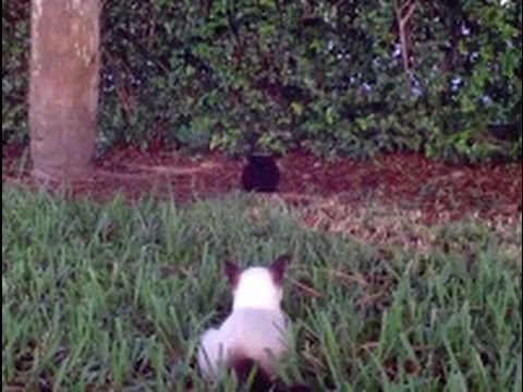 Tamed Feral Cat meets her Feral cat Sibling 'Blackie'  Back to the Wild