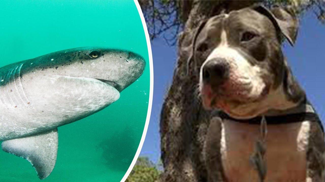 Aksi Heroik Anjing Pitbull Selamatkan Majikan Dari Hiu Hingga Bahaya Ponsel Bagi Anak Tomonews