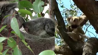 Why Koalas Could Go Extinct in Australian State by 2050