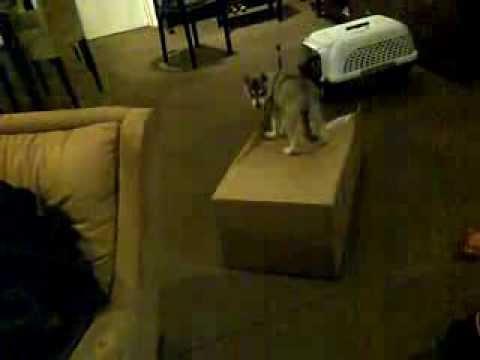 Echo and Skye (Alaskan Klee Kai) - Echo's puppy days