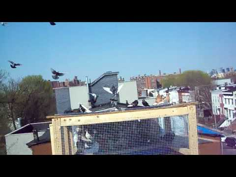 freddy flying pigeons in brooklyn