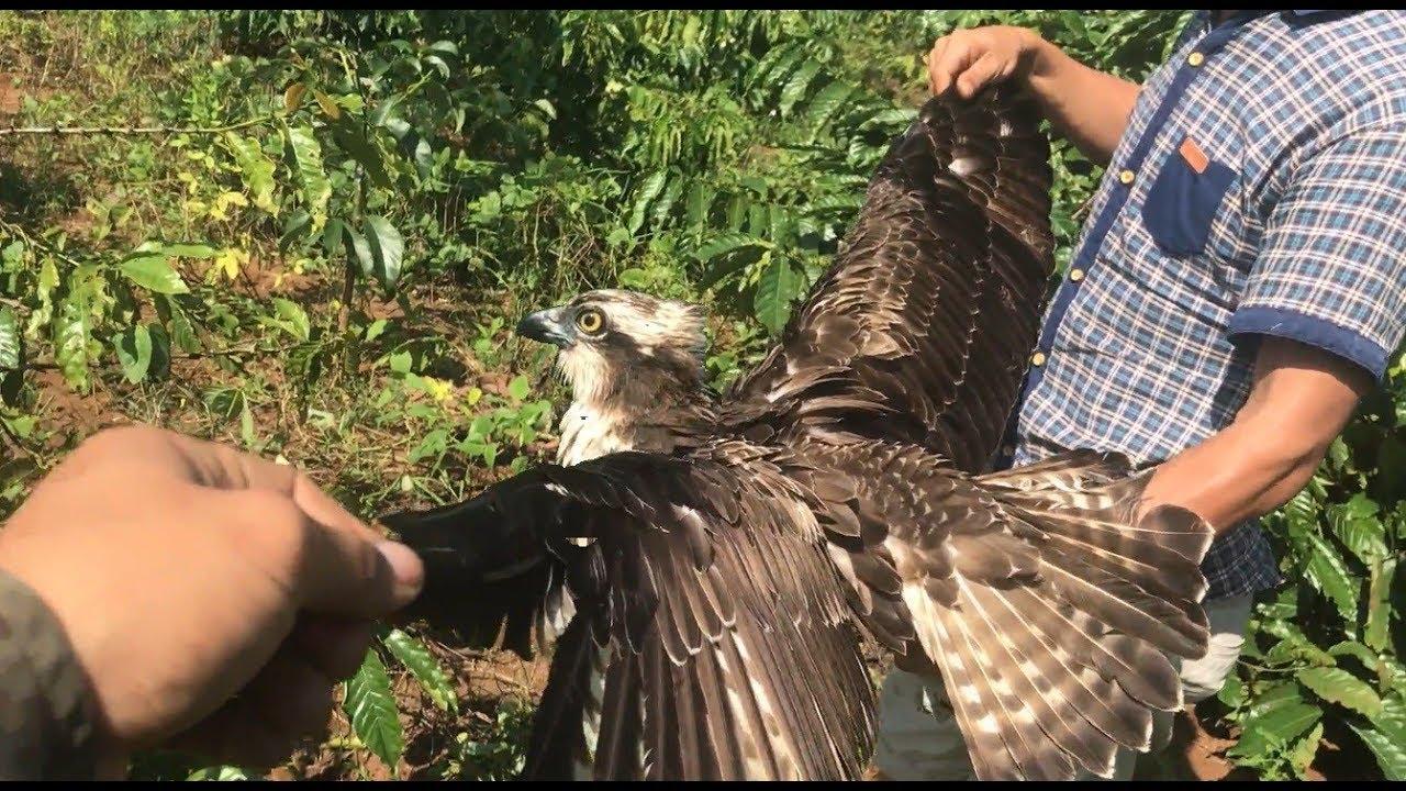 Bắt Được Chim Săn Mồi Hoang Dã Với Đôi Cánh Dài Nghiệt Ngã