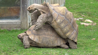 Giant tortoises mating at Flamingo Land