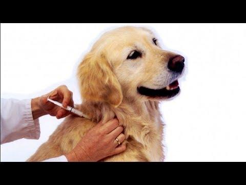 Как лечить подкожного клеща у собак