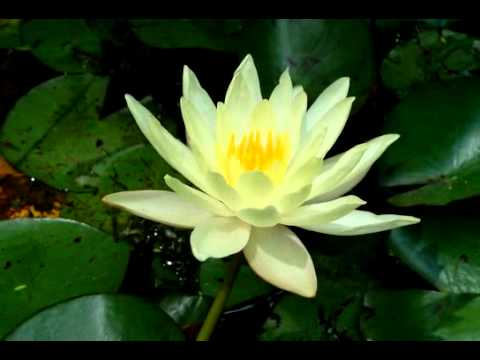 Yellow Lotus Flower Opening And Closing Time Lapse Youtube
