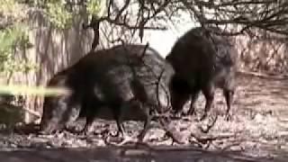 Desert Hog - Javelina (Collared Peccary)