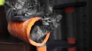 Крупный котенок мейн-кун ЛИРИКУМ АгаХан Мордович (3 мес)  с мамой