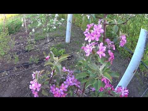 Цветение красномякотной яблони Байа Мариса Baya Marisa