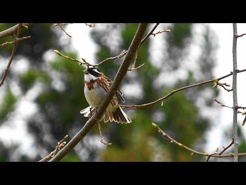 冬鳥カシラダカの囀り