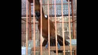 Kicau burung - Cililin coklat