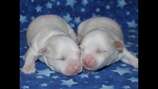 Coton de Tulear Puppies For Sale - Kaley 4/29/21