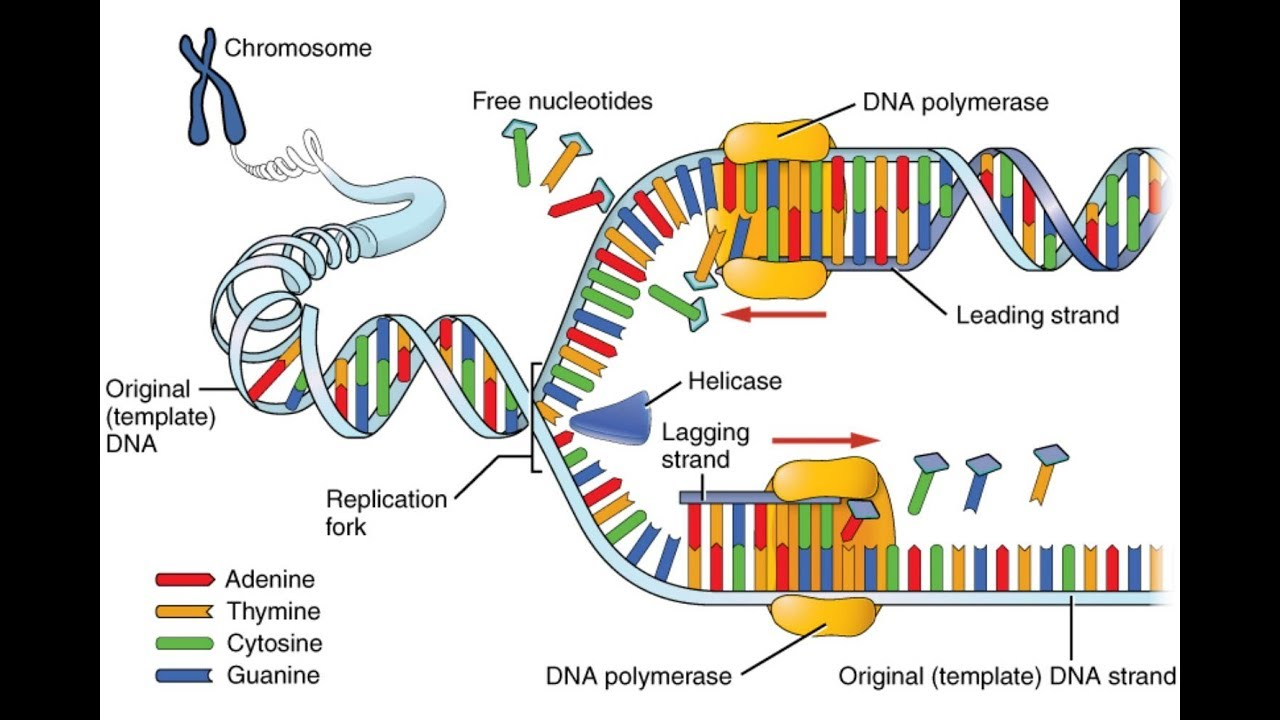 Dna replication process 3d animation hd 2017 youtube dna replication process 3d animation hd 2017 pooptronica