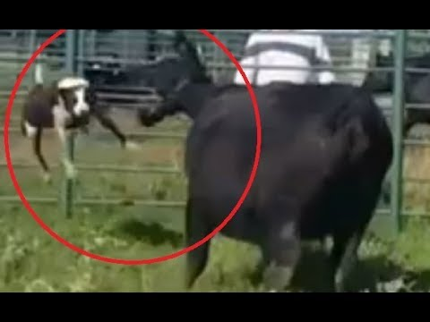 Cow throws dog up in the air like a frisbee!!!