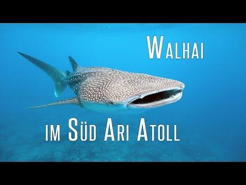 Walhai, Schildkröte und Meer - Tauchen im Süd Ari Atoll  | Tauch-Vlog #25 | #abgetaucht