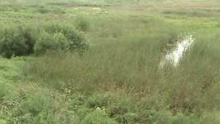 Русский охотничий спаниель прочесывает болото