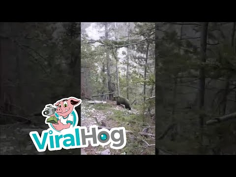 Australians Encounter Grizzly in Canada