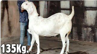 Big Goat in Nagaur City rajasthan by Asif STD STAR GOATS FARM