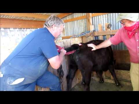 How to Breed Dexter Cattle