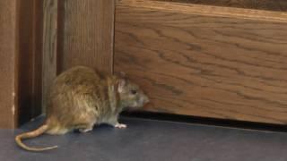 Пасюк Зелёный и другие неторопливые крысы-молнии