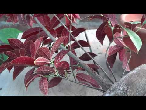 How to Grow Excoecaria Bicolor Plant | Indoor Foliage Plants | Tropical Plant (Urdu/hindi)