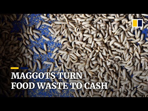 Maggots convert food waste to 'gold' at Singapore insect farm