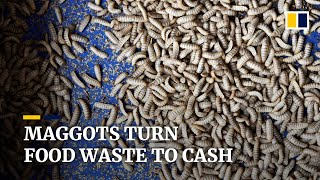 Maggots convert food waste to gold at Singapore insect farm