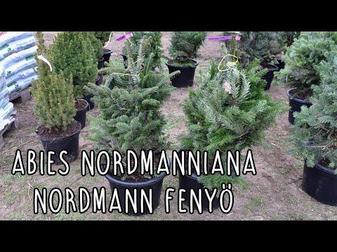 Abies nordmanniana - konténeres Nordmann fenyő /kaukázusi jegenyefenyő/