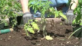 Learn to grow tomatoes in a raised bed.