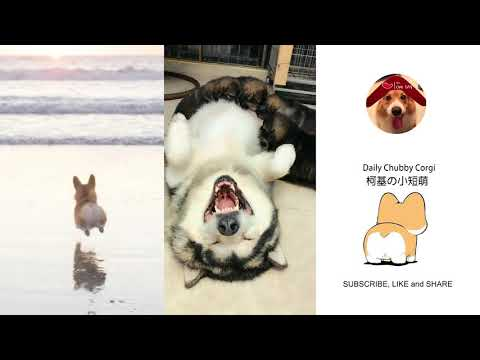 Funny Daily Chubby Corgi Dogs Cute Puppies 2019 Compilation 猫狗蠢萌合集 EP24