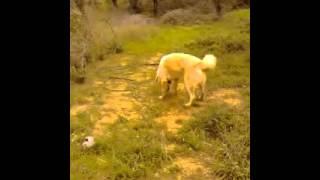 Τσοπανόσκυλο ελληνικό!