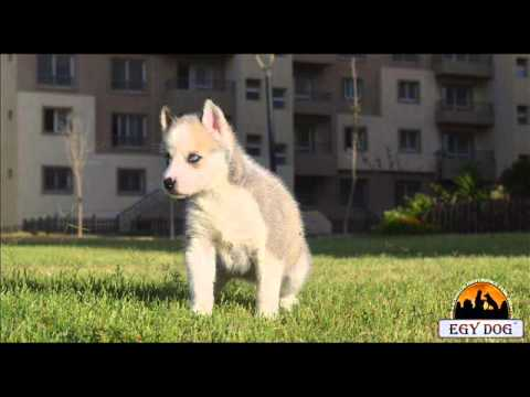 Egydog Siberian husky puppies for sale in egypt